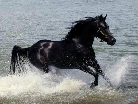 بالصور بالصور افضل تشكيلة للخيول والاحصنة والافراس العربية والاجنبية 10 14