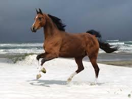 بالصور بالصور افضل تشكيلة للخيول والاحصنة والافراس العربية والاجنبية 10 17