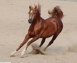 بالصور بالصور افضل تشكيلة للخيول والاحصنة والافراس العربية والاجنبية 10 19