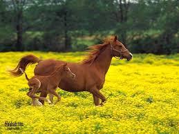 بالصور بالصور افضل تشكيلة للخيول والاحصنة والافراس العربية والاجنبية 10 20
