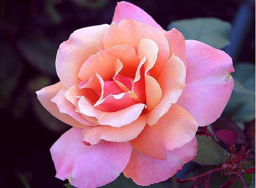 بالصور اجمل وردة في العالم , صور وروود رائعه 1090 1