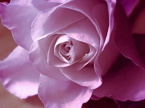 بالصور اجمل وردة في العالم , صور وروود رائعه 1090 3