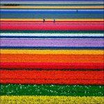 مناظر رائعه لحقول الورد في هولندا