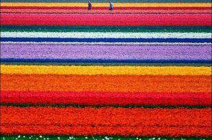 صوره مناظر رائعه لحقول الورد في هولندا