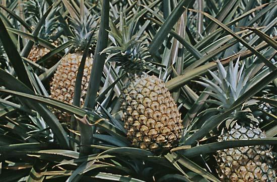 صور صور شجرة الاناناس , صور جميله ومميزه لاشجار الاناناس
