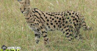 اطول قطه في العالم , تبلغ 19 بوصة