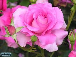 صور اجمل ازهار العالم, زهرة تنشرح لرؤيتها