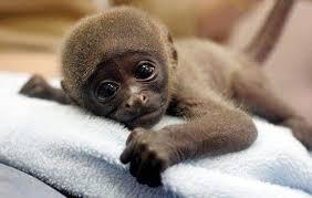 صور اصغر قرد في العالم , يظهر وكانه طفل
