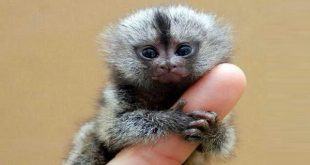 اصغر قرد في العالم , يظهر وكانه طفل