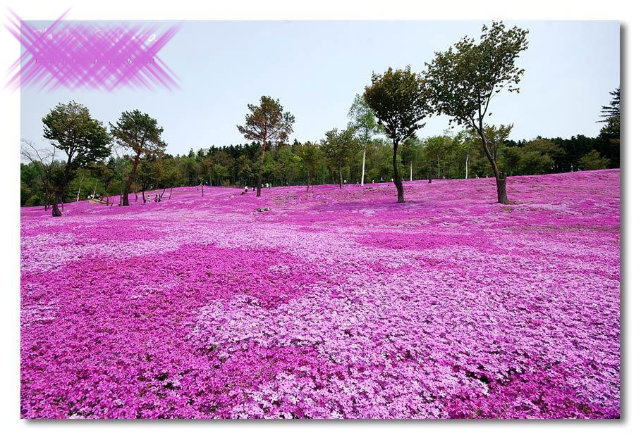 صوره الحديقة البنفسجية في اليابان