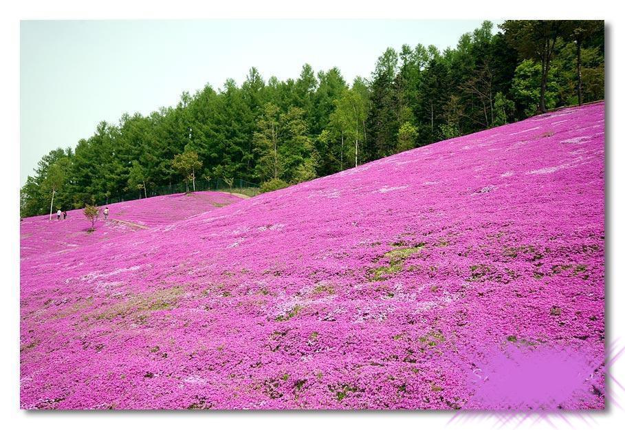بالصور الحديقة البنفسجية في اليابان 300 2