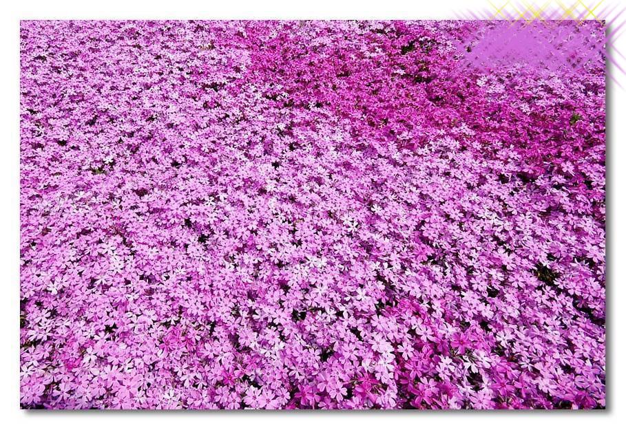بالصور الحديقة البنفسجية في اليابان 300 3