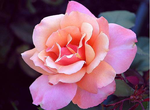 بالصور انواع الزهور ومعانيها بالصور 366 2