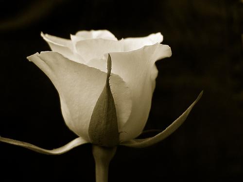 بالصور انواع الزهور ومعانيها بالصور 366 6