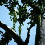 شجرة ثمارها على هيئة بنات بجسم كامل