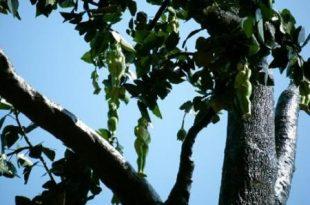 صورة شجرة ثمارها على هيئة بنات بجسم كامل