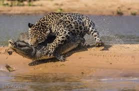 نمر يصطاد تمساح , صور نمر يصطاد تمساح