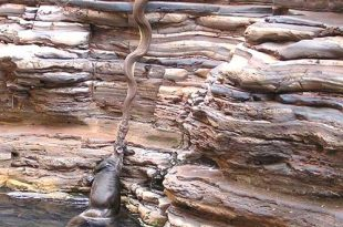 صوره ثعبان يسحب بقرة      ,    ثعابين الاصله تلتهم حيوانات ضخمه