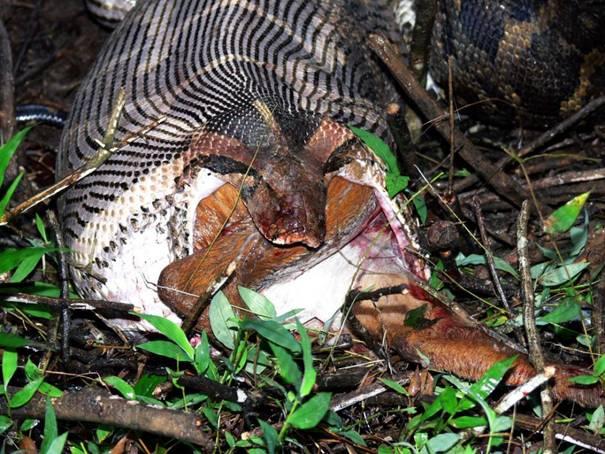 بالصور ثعبان يسحب بقرة      ,    ثعابين الاصله تلتهم حيوانات ضخمه 1487 5