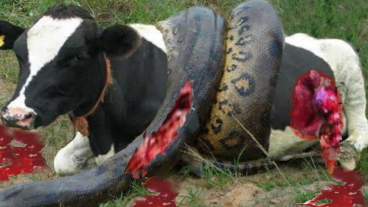 بالصور ثعبان يسحب بقرة      ,    ثعابين الاصله تلتهم حيوانات ضخمه 1487 6