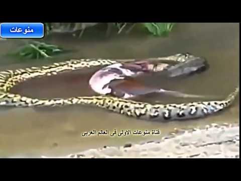 بالصور ثعبان يسحب بقرة      ,    ثعابين الاصله تلتهم حيوانات ضخمه 1487 8