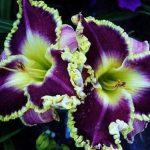 صور ورود جميله , صور اجمل واروع الورودوالزهور