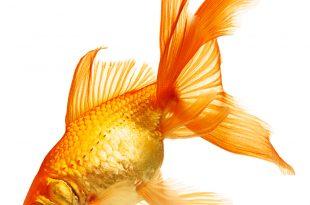صوره سمكه من ذهب , شاهد قدرة الخالق