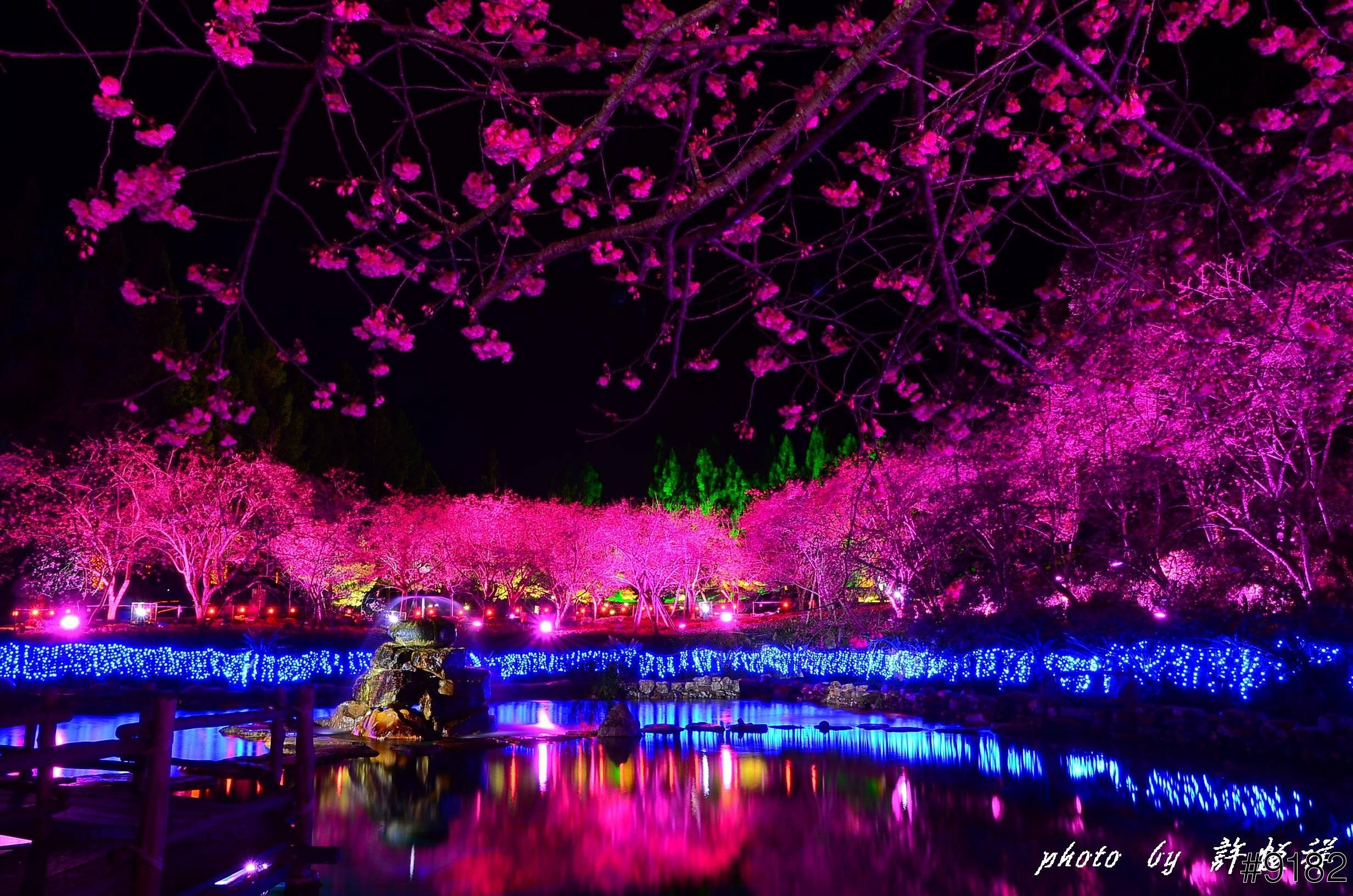 بالصور صور من اليابان , موسم تفتح ازهار الكرز 3390 10