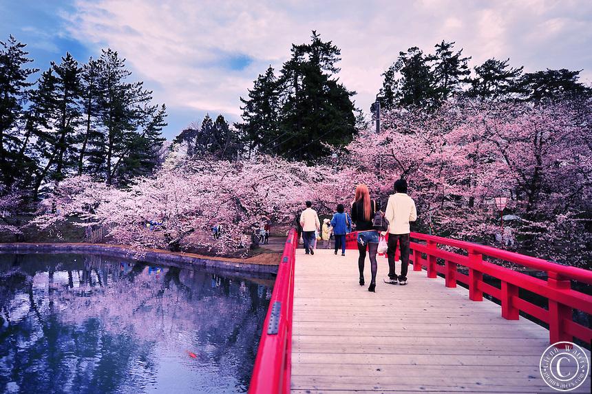 بالصور صور من اليابان , موسم تفتح ازهار الكرز 3390 11