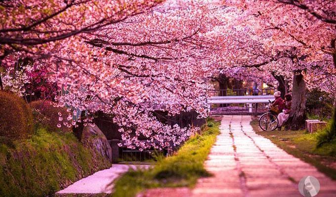 بالصور صور من اليابان , موسم تفتح ازهار الكرز 3390 12