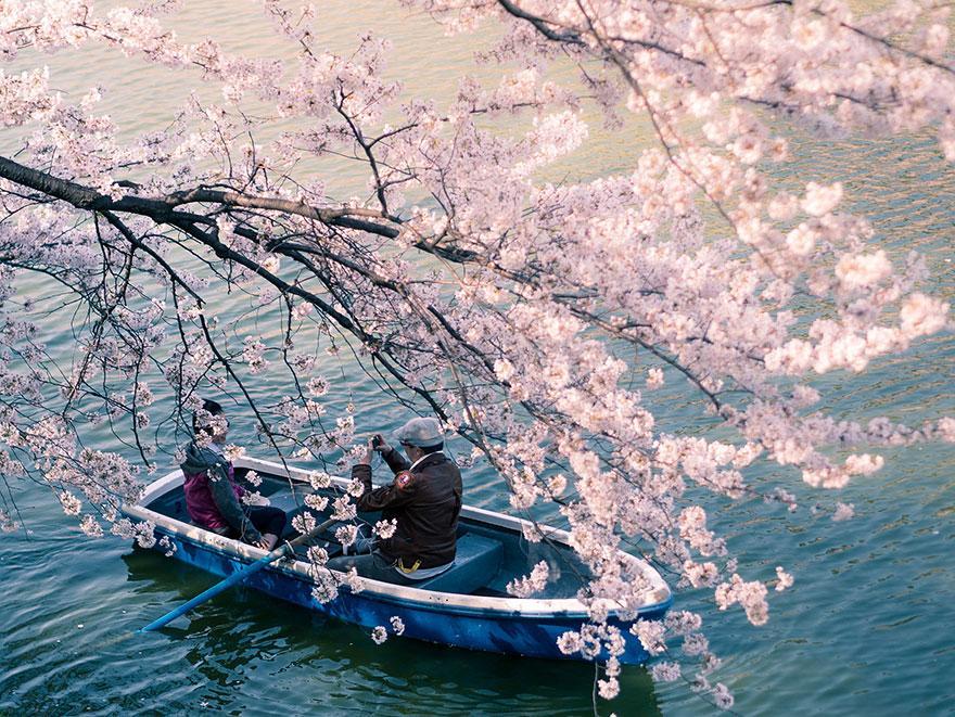 بالصور صور من اليابان , موسم تفتح ازهار الكرز 3390 14