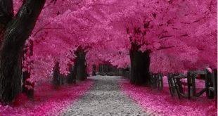 صور من اليابان , موسم تفتح ازهار الكرز
