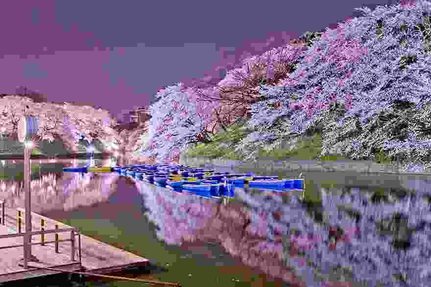 بالصور صور من اليابان , موسم تفتح ازهار الكرز 3390 2