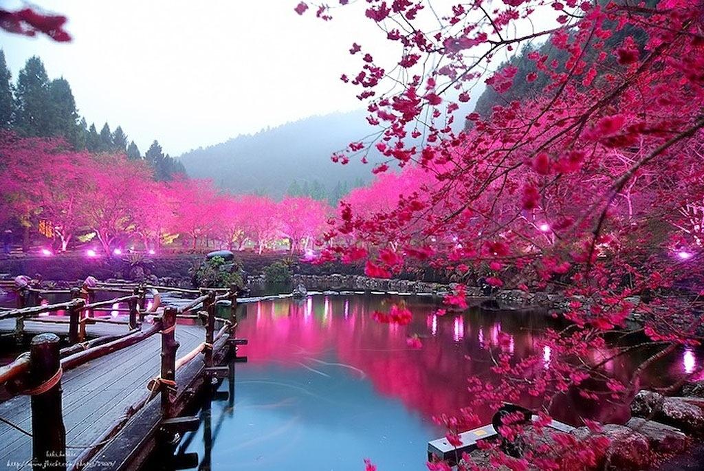 بالصور صور من اليابان , موسم تفتح ازهار الكرز 3390 4