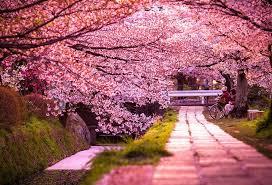 بالصور صور من اليابان , موسم تفتح ازهار الكرز 3390 5