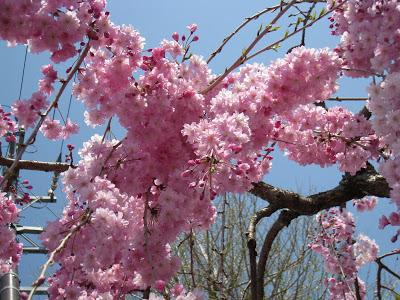 بالصور صور من اليابان , موسم تفتح ازهار الكرز 3390 6