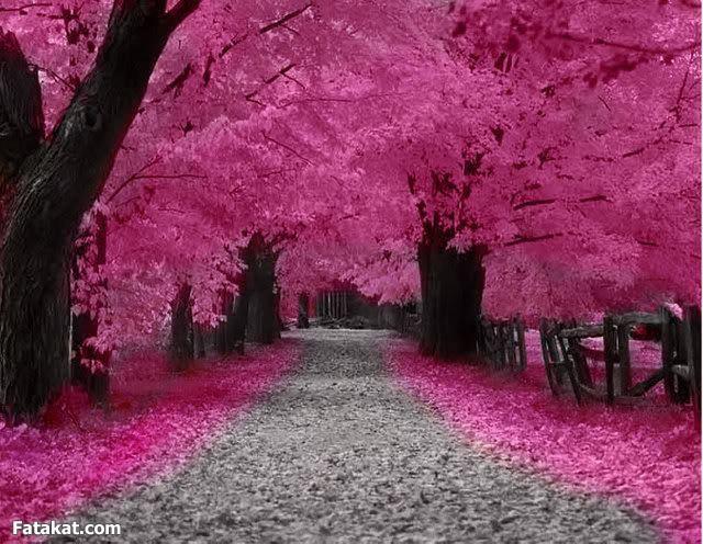 صور صور من اليابان , موسم تفتح ازهار الكرز