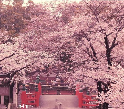 بالصور صور من اليابان , موسم تفتح ازهار الكرز 3390