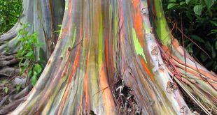 شجرة قوس قزح , ظاهرة رائعة وعجيبة