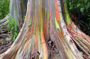 صورة شجرة قوس قزح , ظاهرة رائعة وعجيبة