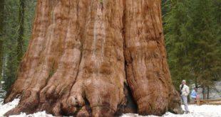 صوره اكبر شجرة بالعالم , تامل روعة الخالق