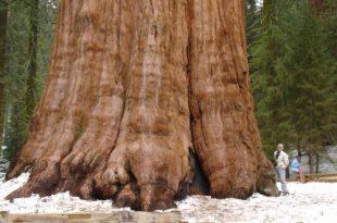 صورة اكبر شجرة بالعالم , تامل روعة الخالق