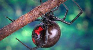 اخطر عنكبوت في العالم , صور تقشعر لها الابدان