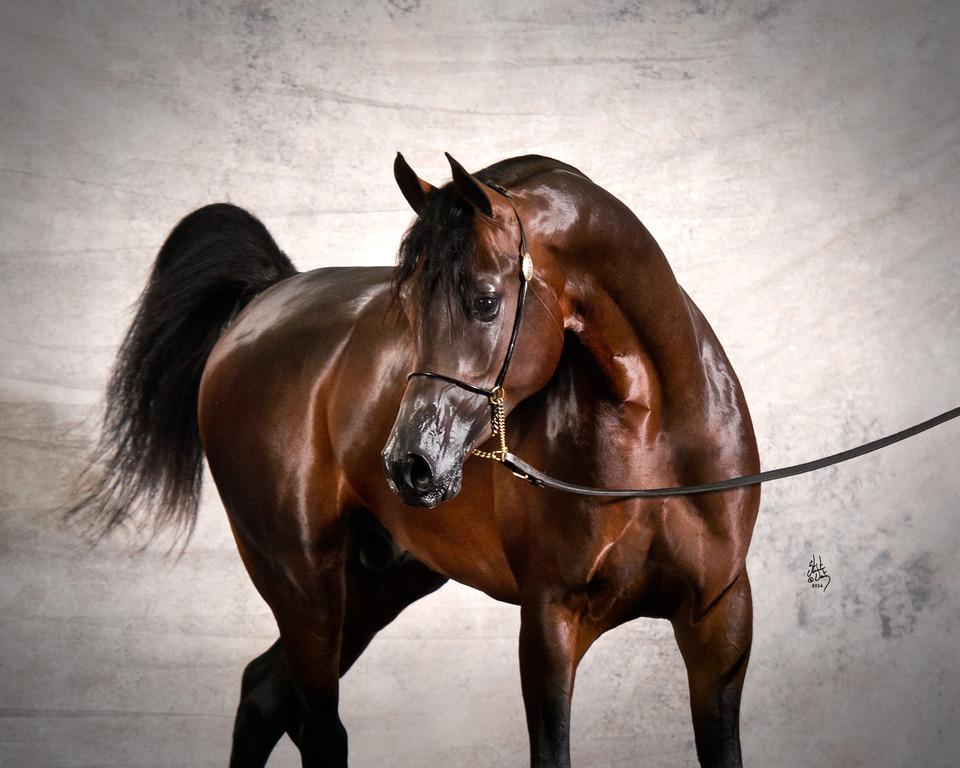 صور خيول عربية اصيلة , روعة في الجمال والخيال