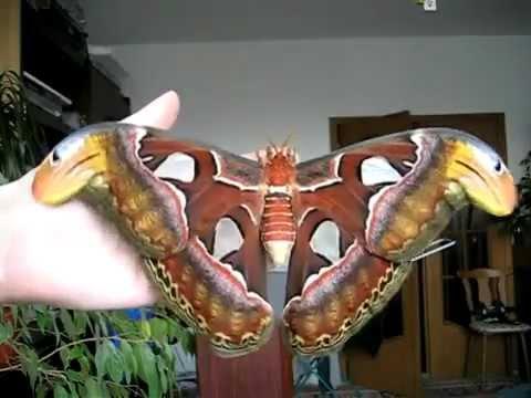 صوره اكبر فراشة في العالم , يطلق عليها اسم الثعبان
