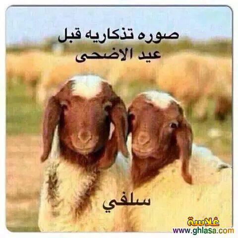 بالصور صور خروف العيد اضحك من قلبك مع صور عيد الاضحي 3677 2