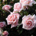 ورود من الطبيعة , اجمل صور لزهور جميلة