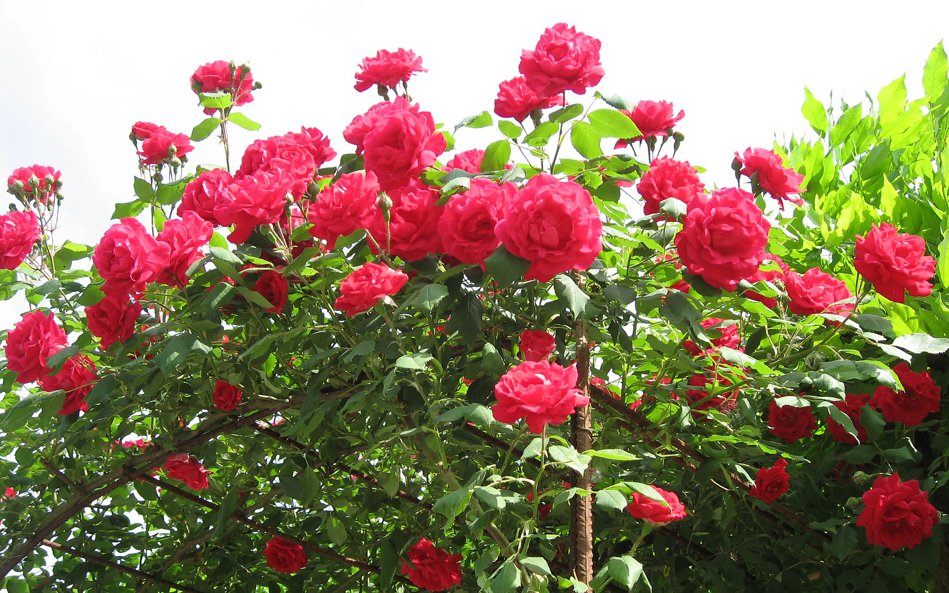 بالصور ورود من الطبيعة , اجمل صور لزهور جميلة 3752 7