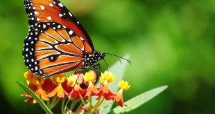 صور اجمل خلفيات الفراشات , افضل البوستات والخلفيات للحيوانات الطائره