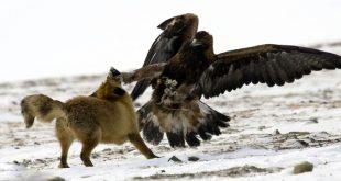 صور النسر الذهبي يصطاد الذئب , و يتغلب على اشرس المخلوقات بمخالبة القوية